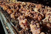cinque terre sciacchetra grapes drying on a rack